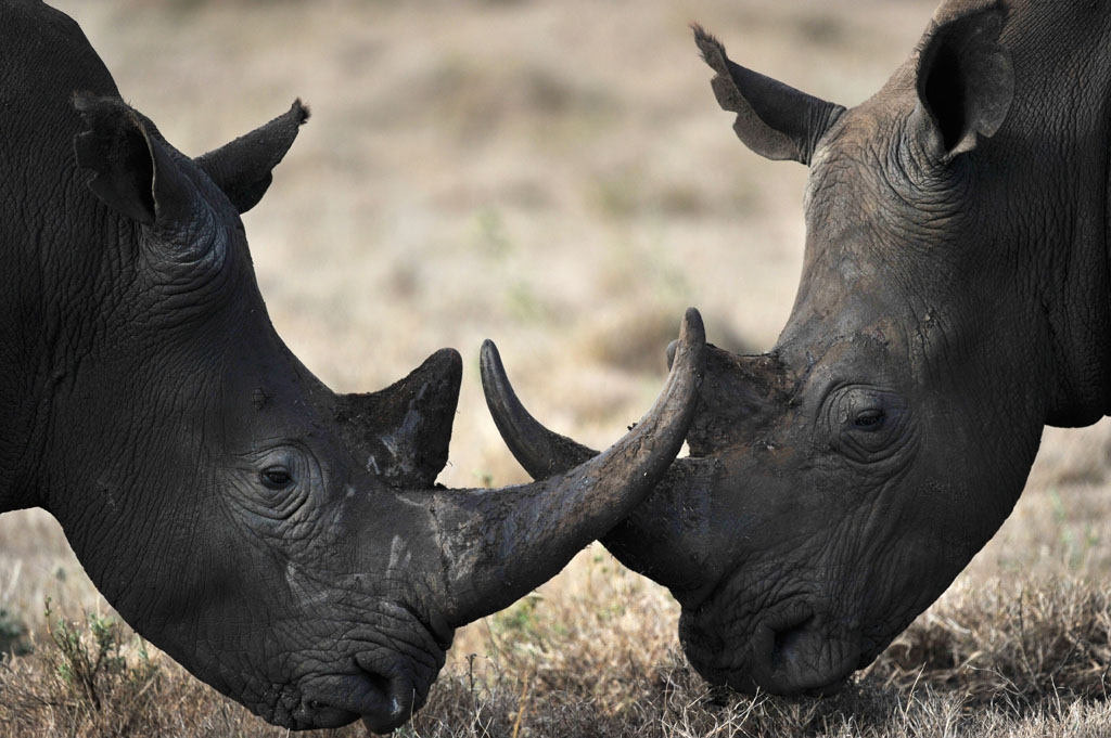 Trophy Hunting Two Male Rhinoceros Lock Horns At The Lewa Wildlife Conservancy In Kenya December 10 2010 Public Radio International Endangered Animals That Poaching Might Take From Us Forever
